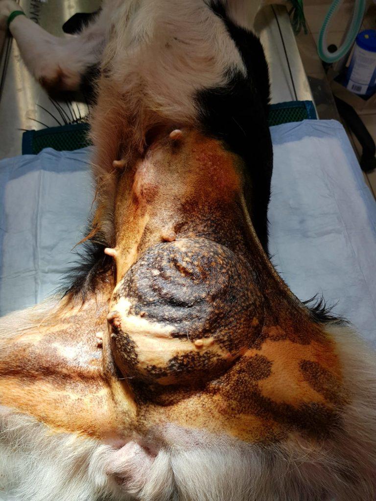 Hernie sur chienne - Chirurgie abdominale