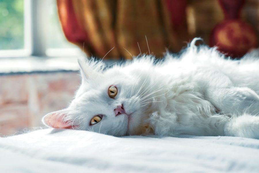 La cystite du chat : définition, causes et conseils